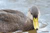 FSC_4308 American Black Duck Nov 20 2015