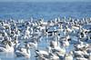 FSC_4056 Hutchins Goose Snow Geese Nov 4 2015