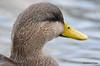 FSC_4310 American Black Duck Nov 20 2015