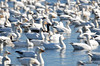 FSC_4059 Hutchins Goose Snow Geese Nov 4 2015
