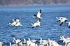 FSC_4051 Snow Geese Nov 4 2015