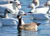 FSC_4067 Hutchins Goose Snow Geese Nov 4 2015