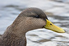FSC_4311 American Black Duck Nov 20 2015