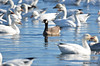 FSC_4066 Hutchins Goose Snow Geese Nov 4 2015
