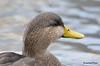 FSC_4309 American Black Duck Nov 20 2015