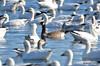 FSC_4064 Hutchins Goose Snow Geese Nov 4 2015