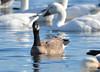 FSC_4065 Hutchins Goose Snow Geese Nov 4 2015