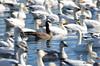 FSC_4062 Hutchins Goose Snow Geese Nov 4 2015