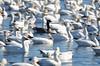 FSC_4061 Hutchins Goose Snow Geese Nov 4 2015