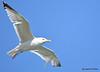 DSC_3141  Herring Gull May 1 2015