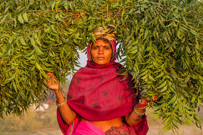 Foliage for the camels/Horses at the Pushkar Camel Fair