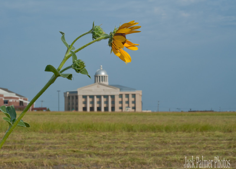 Sunflower trying to survive the TX sun.