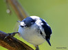 FSC_2691 White-breasted Nuthatch Sept 27 2015