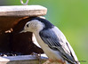 FSC_2573 White-breasted Nuthatch Sept 25 2015