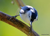 FSC_2692 White-breasted Nuthatch Sept 27 2015