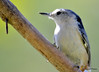 FSC_2649 White-breasted Nuthatch Sept 27 2015