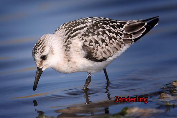 Juvenile Sanderling, Cley, Norfolk, August 2005 (Steve Gantlett).
