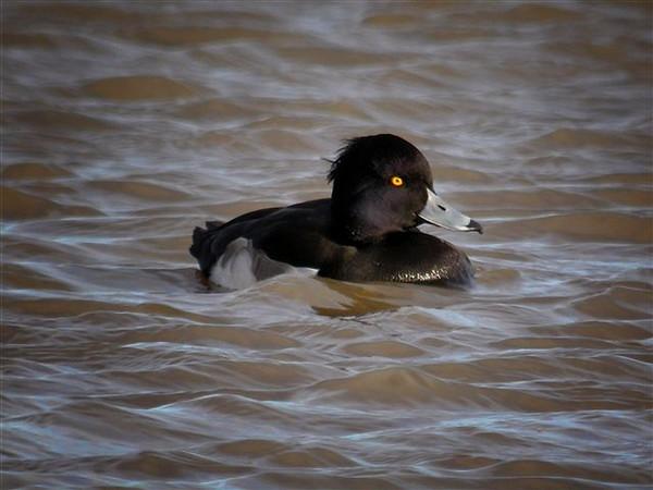 Male Tufted Duck, Cley, Norfolk, 3rd December 2006 (Eddie Myers).