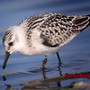 Juvenile Sanderling, Cley, Norfolk, August 2005 (Steve Gantlett).