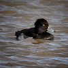Male Tufted Duck, Cley, Norfolk, 3rd December 2006 (Eddie Myers).