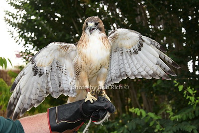 Sonia the Red tailed hawk