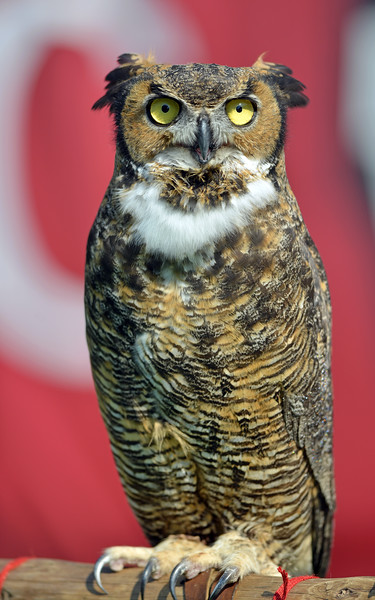 PHILADELPHIA - OCTOBER 5: Stella, a live Owl, on the sidelines as a mascot for Temple during a AAC football game against Louisville October 5, 2013 in Philadelphia