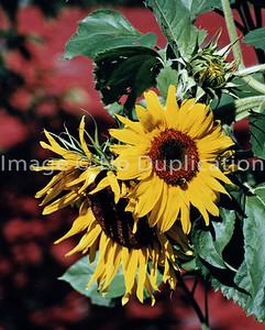 sunflowerG