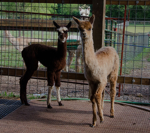 Bent Pine Alpaca Farm Pictures