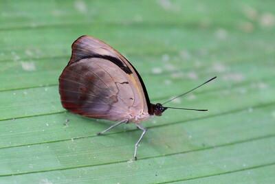 Grecian Shoemaker Butterfly