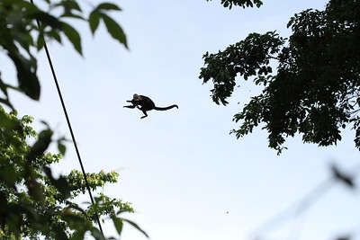 Monkey leaping from tree to tree