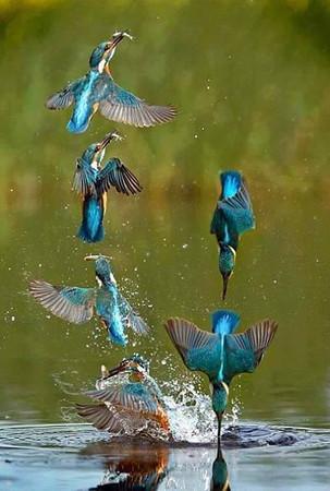Birds hunting fish