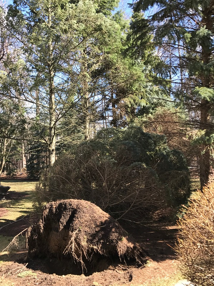 Blown over in the early stages of Wednesday's wind storms, at about 10:30 a.m. in Oakland Township. And hour later another tree was felled. Stephen Frye / Digital First Media