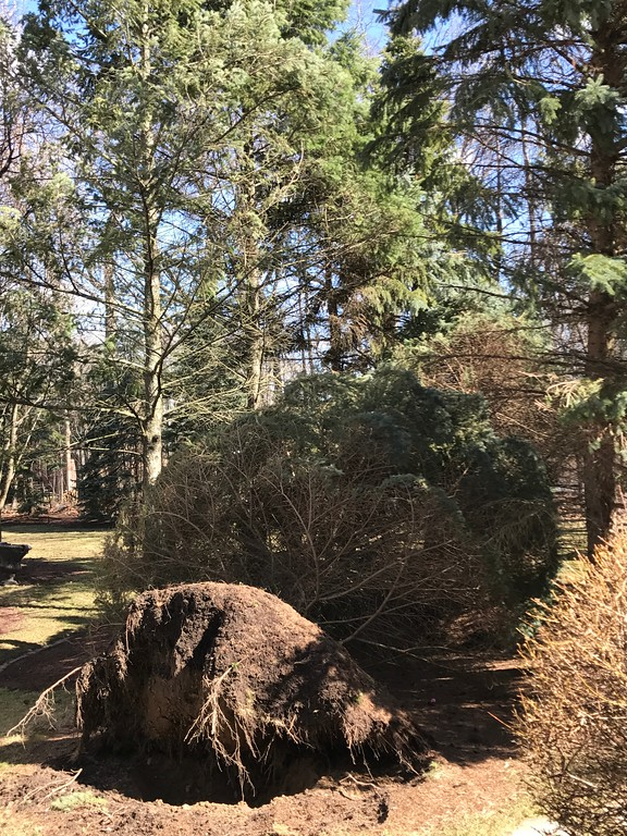 . Blown over in the early stages of Wednesday\'s wind storms, at about 10:30 a.m. in Oakland Township. And hour later another tree was felled. Stephen Frye / Digital First Media