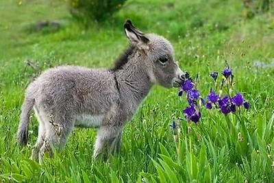 Dwarf donkeys