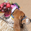 be0412doggyegg01.jpg George Stussi won 1st place in the bonnet parade during the Paws in the Park egg hunt and Easter bonnet parade at the Broomfield County Commons Dog Park on Saturday.  Jack Stussi, 11, and his mother Ceecee dressed george in the winning costume.<br /> April 7, 2012 <br /> staff photo/ David R. Jennings