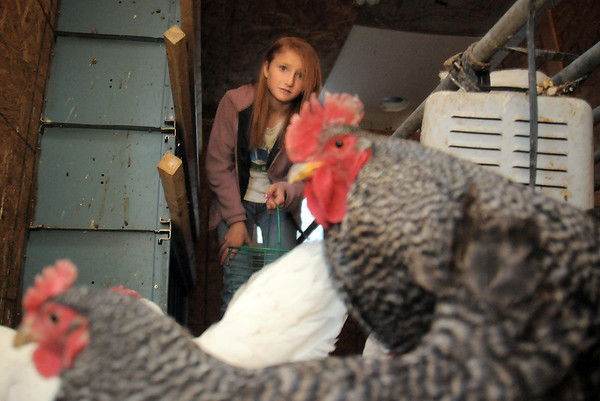 "be0122chicken10.jpg Shelby Grebenc, 12, gathers eggs from 130 chickens for her business ""Shelby's Happy Chapped Chicken Butt Farm"" at the family's home of 4 acres in Broomfield on Thursday. Grebenc is the youngest person to be certified as an Animal Welfare Approved chicken farm.<br /> For more photos please see  <a href=""http://www.broomfieldenterprise.com"">http://www.broomfieldenterprise.com</a><br /> January 19, 2012<br /> staff photo/ David R. Jennings"