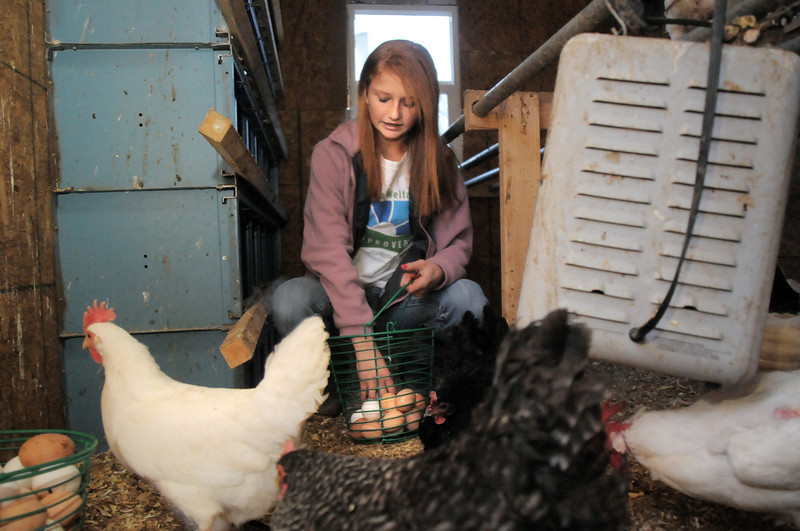 "be0122chicken04.jpg Shelby Grebenc, 12, gathers eggs from 130 chickens for her business ""Shelby's Happy Chapped Chicken Butt Farm"" at the family's home of 4 acres in Broomfield on Thursday. Grebenc is the youngest person to be certified as an Animal Welfare Approved chicken farm.<br /> For more photos please see  <a href=""http://www.broomfieldenterprise.com"">http://www.broomfieldenterprise.com</a><br /> January 19, 2012<br /> staff photo/ David R. Jennings"