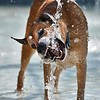 Chole, owned by Scott and Pam Spring, bites a stream of water during the first session of Dog Daze at the Bay on Saturday at The Bay Aquatic Park.<br /> September 8, 2012<br /> staff photo/ David R. Jennings
