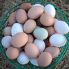 "be0122chicken12.jpg A basket full of Shelby Grebenc's eggs gathered from her 130 chickens for her business ""Shelby's Happy Chapped Chicken Butt Farm"" in Broomfield on Thursday. Grebenc is the youngest person to be certified as an Animal Welfare Approved chicken farm.<br /> For more photos please see  <a href=""http://www.broomfieldenterprise.com"">http://www.broomfieldenterprise.com</a><br /> January 19, 2012<br /> staff photo/ David R. Jennings"