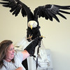 Heidi Bucknam, executive director of the Birds of Prey foundation, holds  on to Adam, a Bald Eagle, who likes to fly around Heidi's arm,  gives an educational talk about Bald Eagles during the presentation for the Broomfield Open Space Foundation at the Broomfield Community Center on Saturday.<br /> September 24, 2011<br /> staff photo/ David R. Jennings