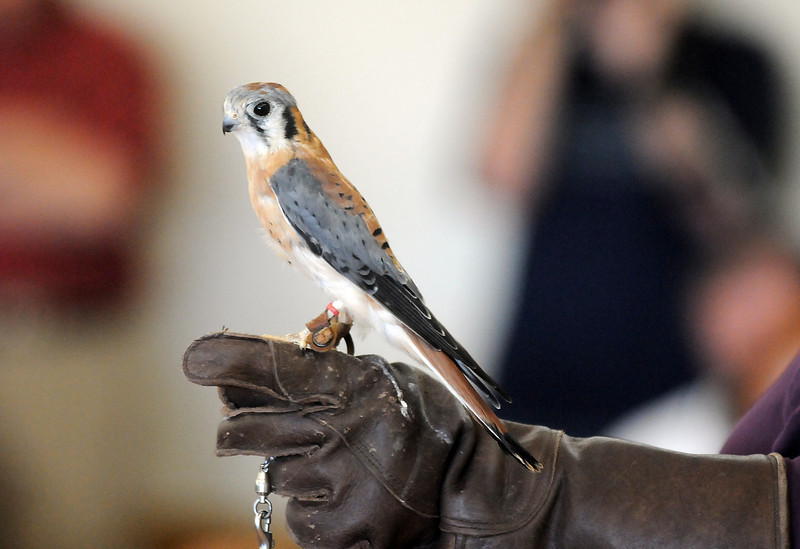 Jacob, an American Kestrel, stands on the arm of Christy Holland, during the Birds of Prey Foundation presentation at the Broomfield Community Center on Saturday. The American Kestrel is the smallest falcon in North America. <br /> <br /> September 25, 2010<br /> staff photo/David R. Jennings