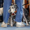 Monty and Scottie look out from between the legs of their owner Donna Dudley during the Blessing of the Animals and St. Francis Festival at The Church of the Holy Comforter on Saturday. Over 30 dogs, 1 cat and 1 gecko received the blessing in the church sanctuary.<br /> October 10, 2009<br /> Staff photo/David R. Jennings
