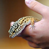 Zulu, a leopard gecko, is held by owner Payton Wright while waiting to be blessed during the Blessing of the Animals and St. Francis Festival at The Church of the Holy Comforter on Saturday. Over 30 dogs, 1 cat and 1 gecko received the blessing in the church sanctuary.<br /> October 10, 2009<br /> Staff photo/David R. Jennings