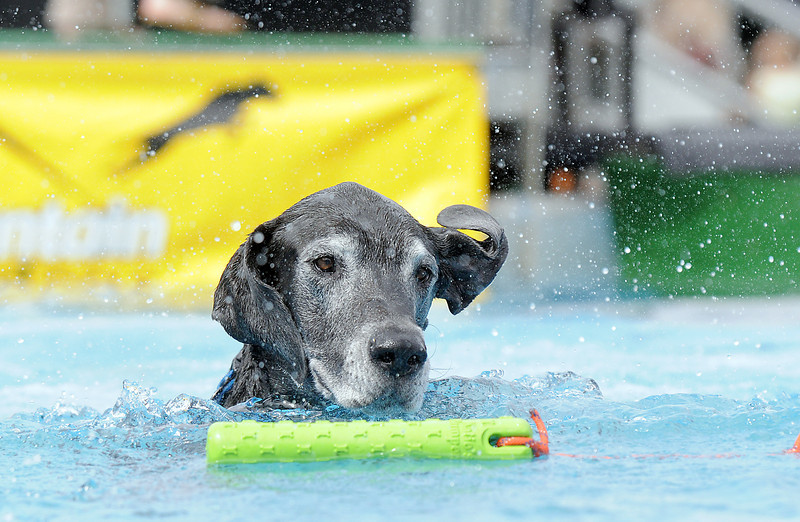 Cain, a Great Dane, owned by Courtney Taylor retrieves a toy during Dock Dogs at Broomfield Days in Midway Park on Saturday.<br /> September 17, 2011<br /> staff photo/ David R. Jennings