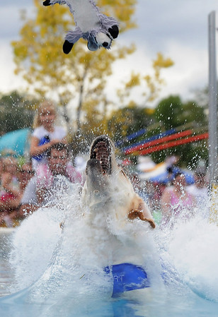 Sportie, a Lab Retriever owned by Gloria Mai, chases a toy while diving into a pool for the Dock Dogs competition during Broomfield Days at Midway Park on Saturday.<br /> September 17, 2011<br /> staff photo/ David R. Jennings
