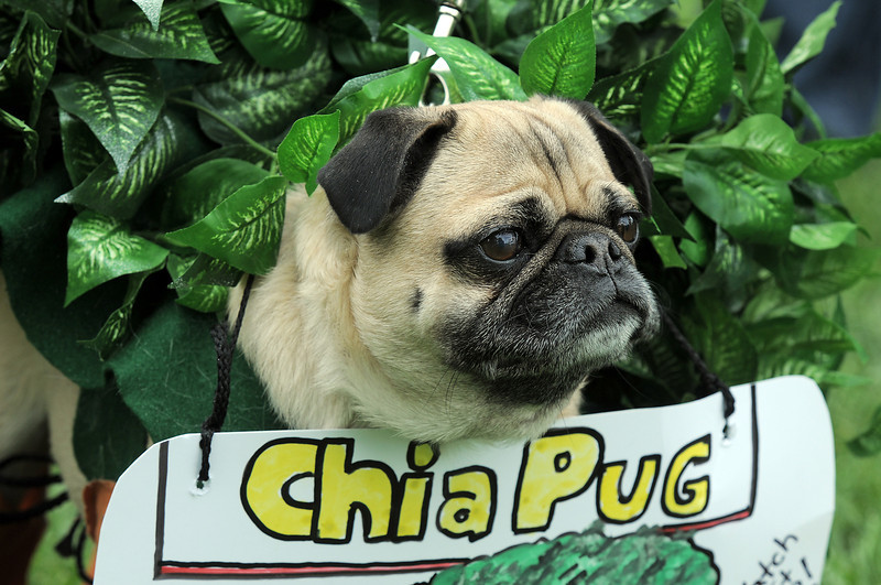 "Bubba dressed as the ""Chia Pug"" owned by  Dana Oughton won the Best Dressed Dog Contest during Broomfield Days at Midway Park on Saturday.<br /> September 17, 2011<br /> staff photo/ David R. Jennings"
