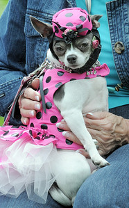 Minuette was dressed as a diva for the Best Dressed Dog Contest during Broomfield Days at Midway Park on Saturday. September 17, 2011 staff photo/ David R. Jennings