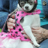 Minuette was dressed as a diva for the Best Dressed Dog Contest during Broomfield Days at Midway Park on Saturday.<br /> September 17, 2011<br /> staff photo/ David R. Jennings