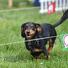 Barley owned by Mandy Martinez runs a fun race for the Dogs for a Cause during Broomfield Days at Midway Park.<br /> September 15, 2012<br /> staff photo/ David R. Jennings