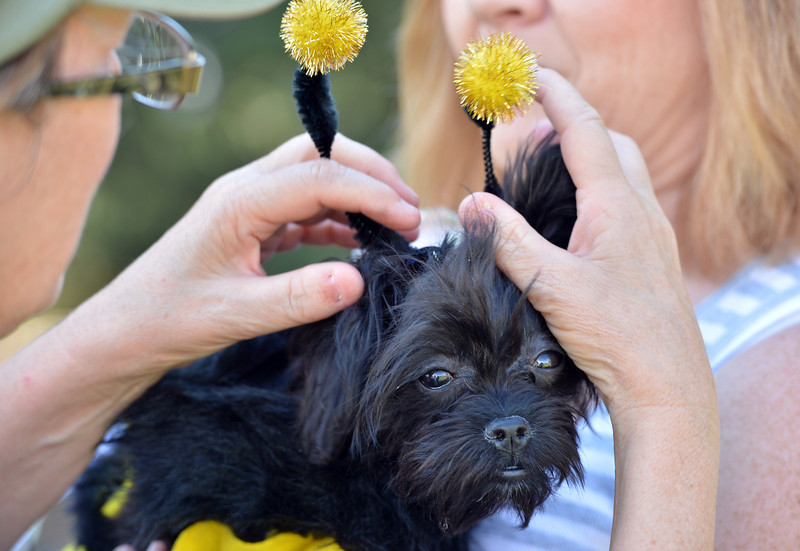 Chloe owned by Sue Spangler gets her bumble bee antenna adjusted  before the Best Dressed Dog Contest during Broomfield Days at Midway Park.<br /> September 15, 2012<br /> staff photo/ David R. Jennings